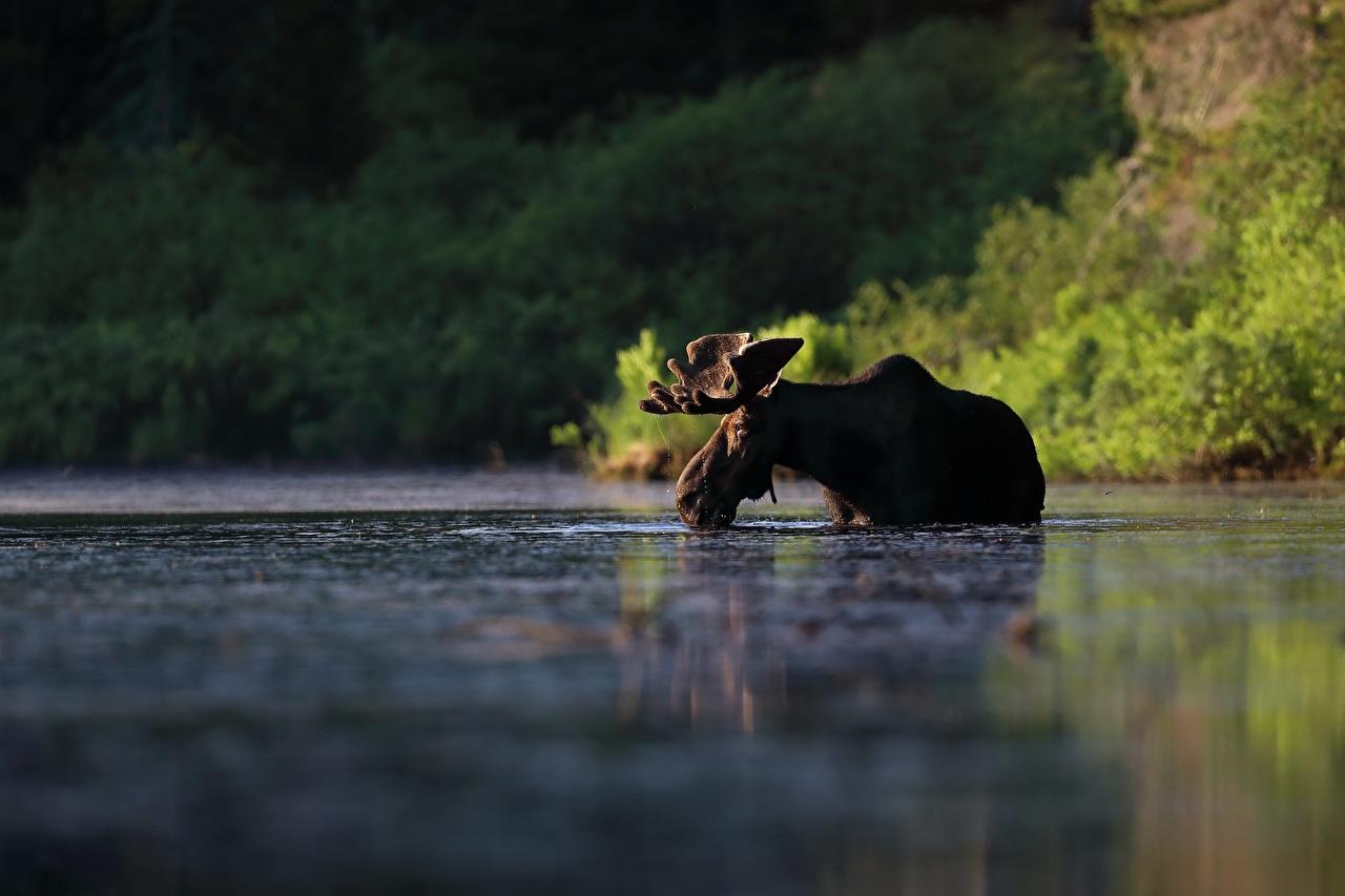Картинки Лоси Вода Животные воде животное