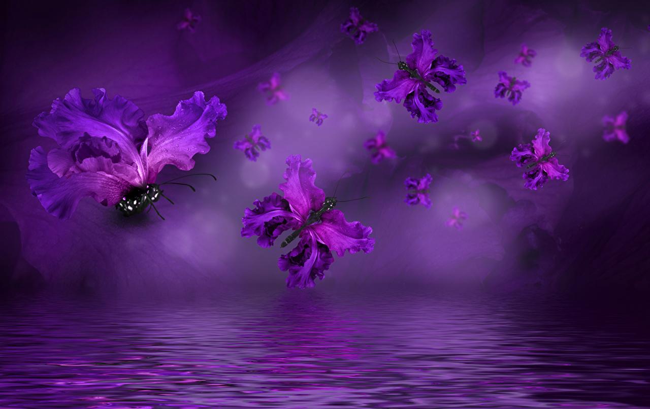Фото Бабочки фиолетовых Цветы Ирисы Вода Фиолетовый фиолетовые фиолетовая