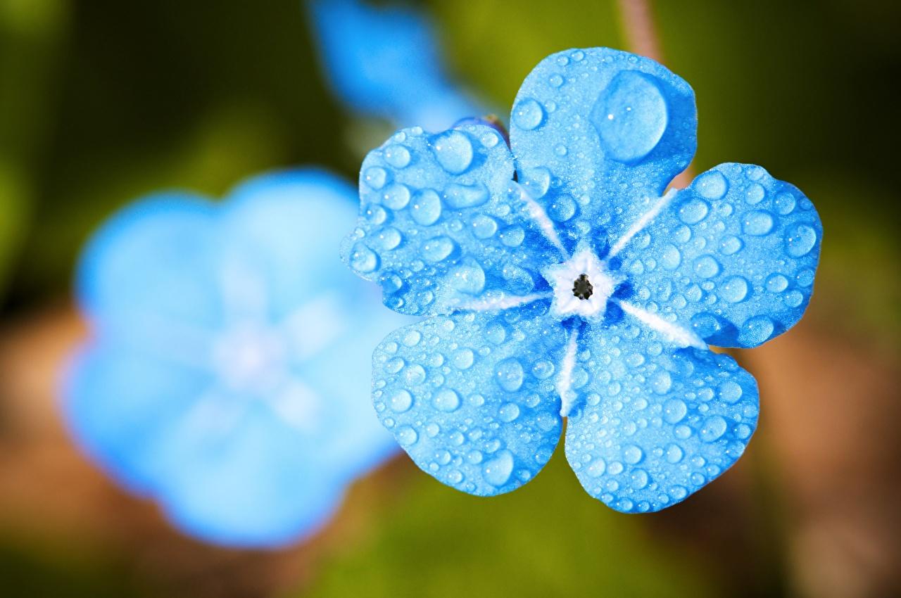 Фото цветок Незабудка Размытый фон Капли голубая Макросъёмка Крупным планом Цветы боке Макро капля капель Голубой голубые голубых капельки вблизи