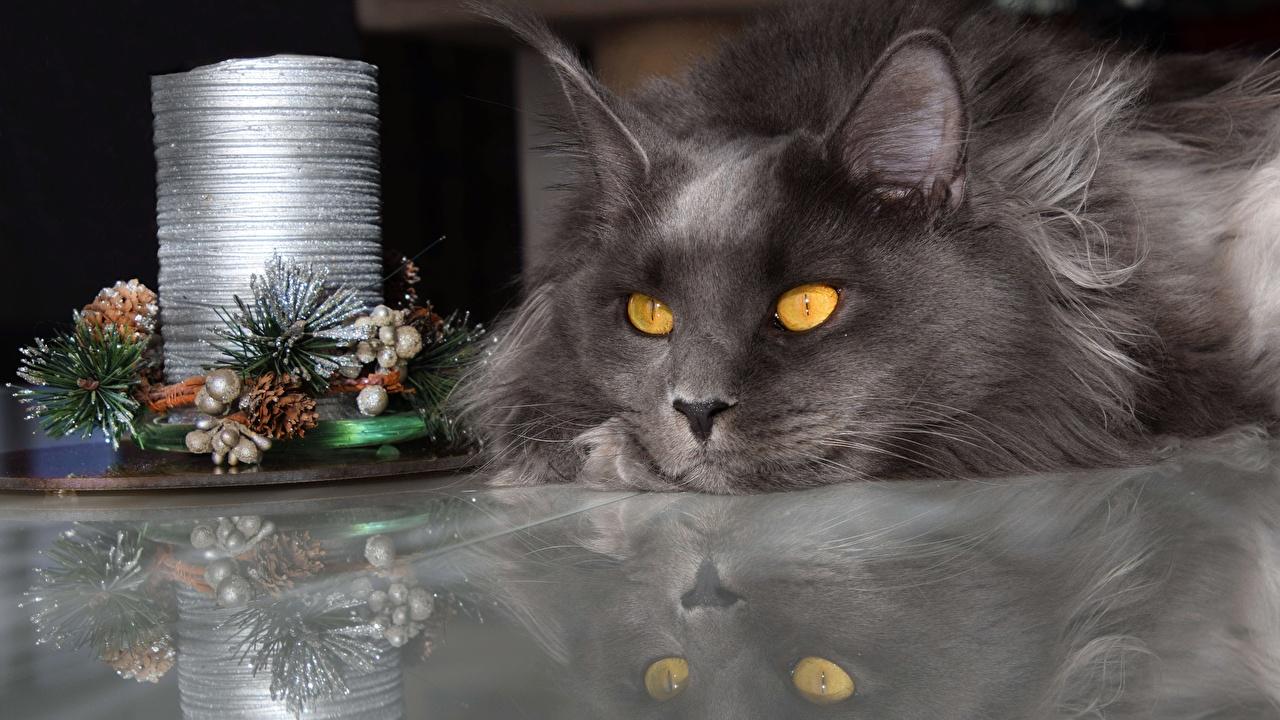 Картинки Мейн-кун кот Рождество серые смотрит Животные коты Кошки кошка Новый год Серый серая Взгляд смотрят животное