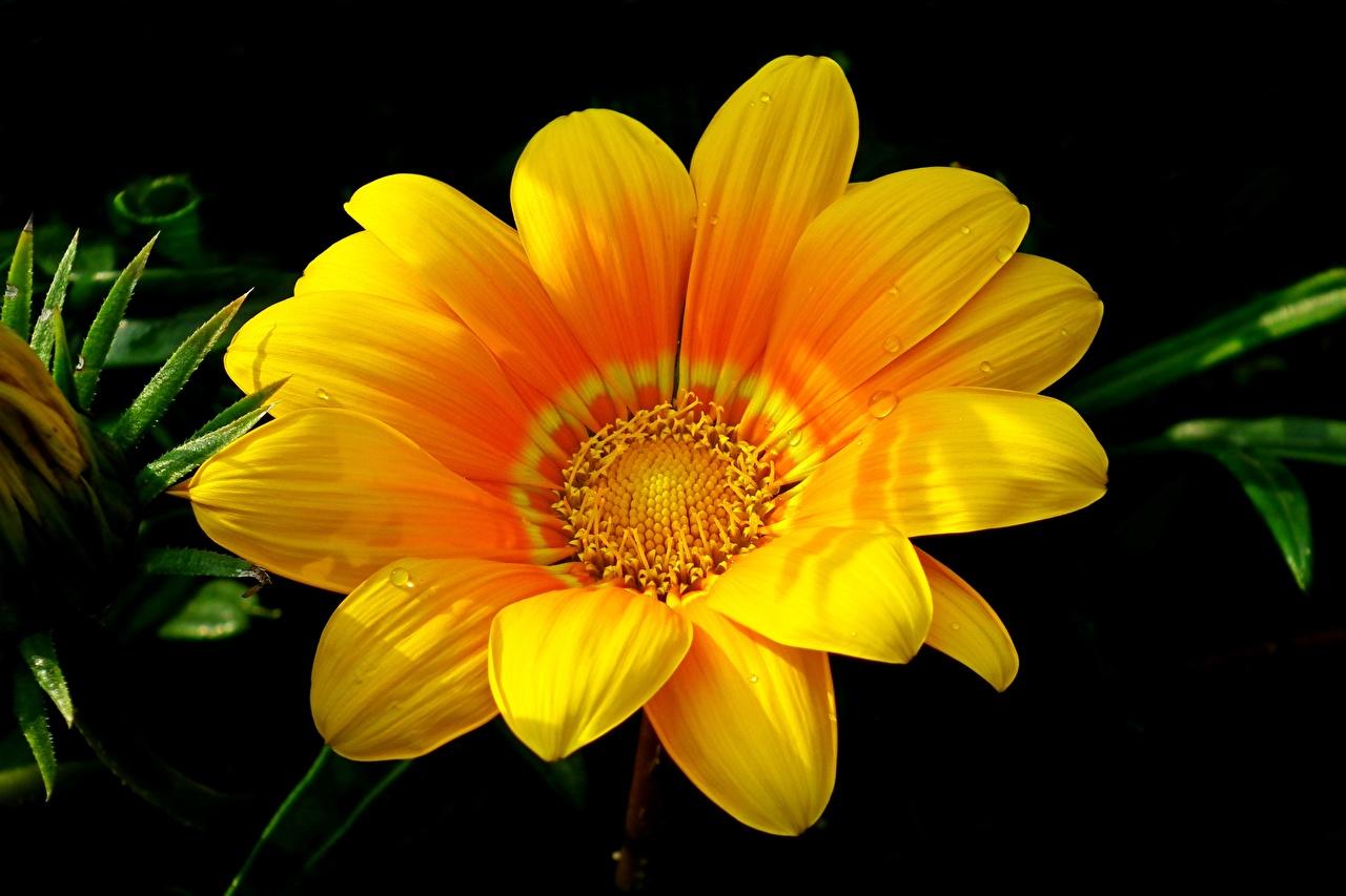 Картинка Желтый цветок Газания Крупным планом желтых желтые желтая Цветы вблизи