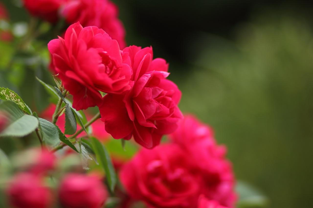 Фотографии боке Розы красных Цветы Размытый фон роза красная красные Красный цветок