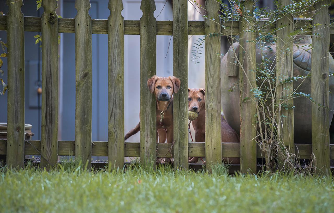 Обои для рабочего стола Собаки 2 ограда траве Животные собака два две Двое вдвоем Забор забора забором Трава животное
