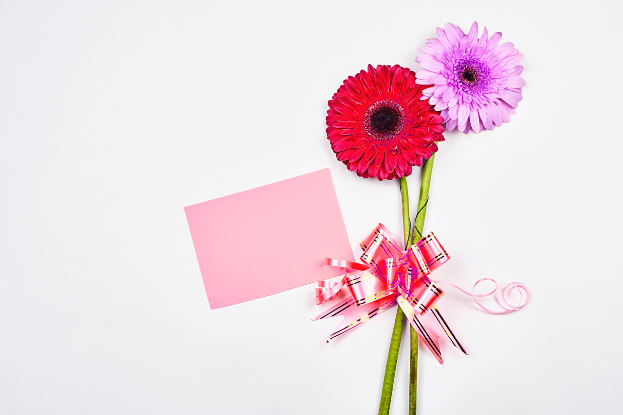Обои для рабочего стола Лист бумаги 2 гербера цветок Бантик Шаблон поздравительной открытки белом фоне два две Двое вдвоем Герберы Цветы бант бантики Белый фон белым фоном