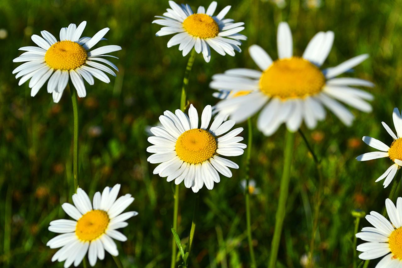 Фотографии цветок Ромашки вблизи Цветы ромашка Крупным планом