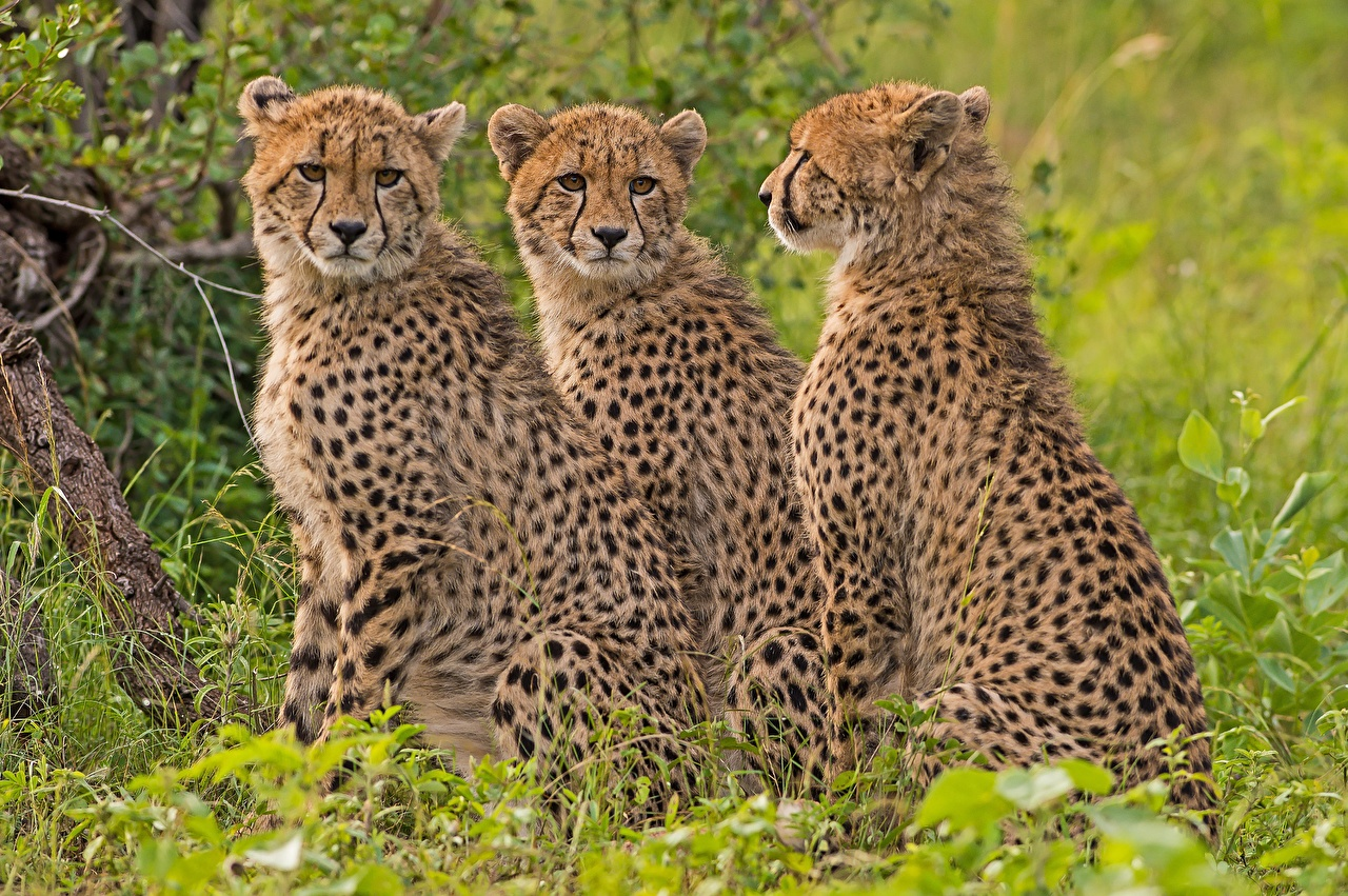Фотографии Гепарды втроем Животные три Трое 3