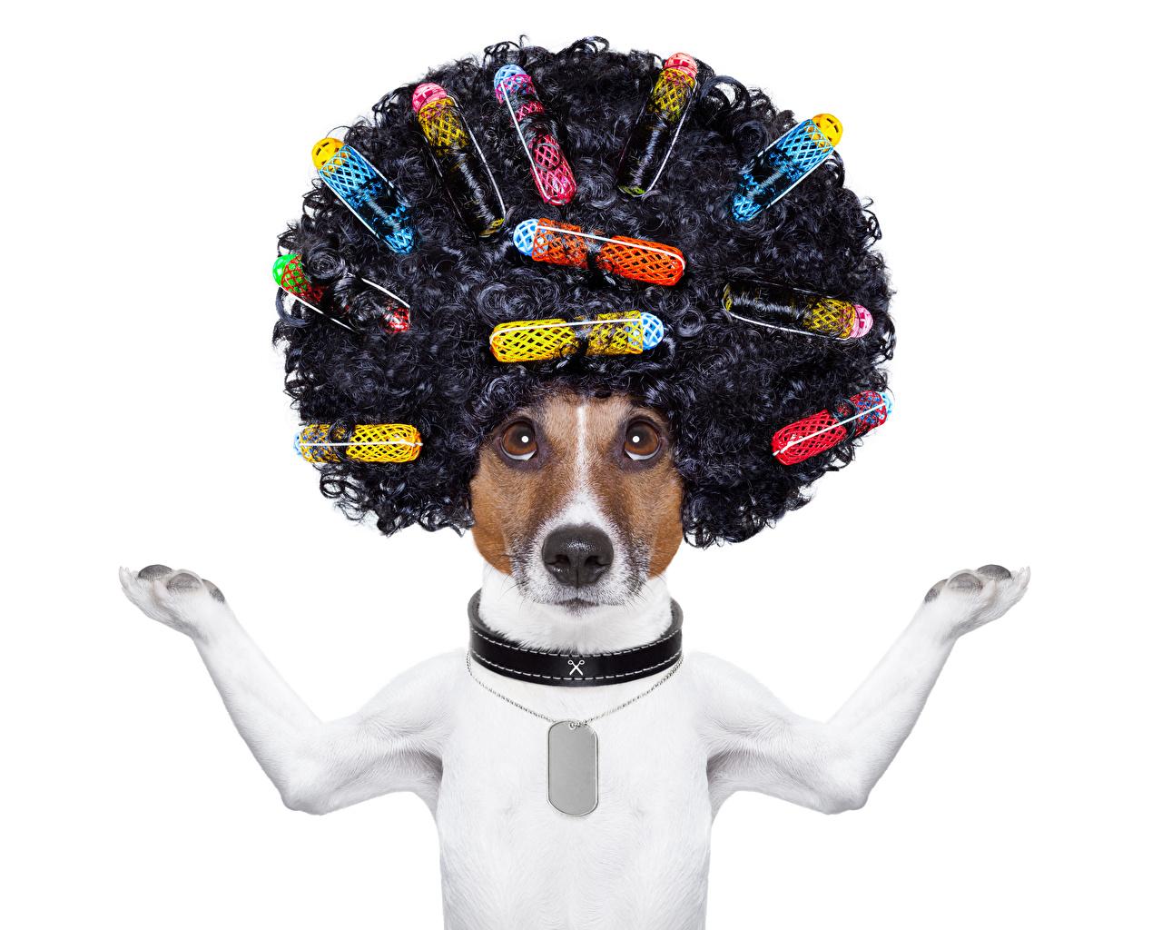 Обои для рабочего стола Джек-рассел-терьер Собаки Кудрявые Причёска Волосы Лапы Креатив Животные Белый фон