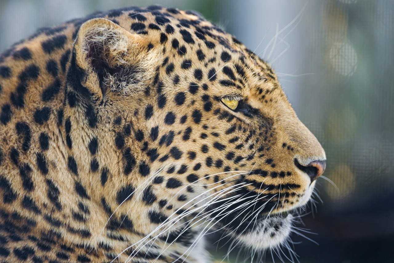 Фотография Леопарды Большие кошки Усы Вибриссы животное Крупным планом леопард вблизи Животные