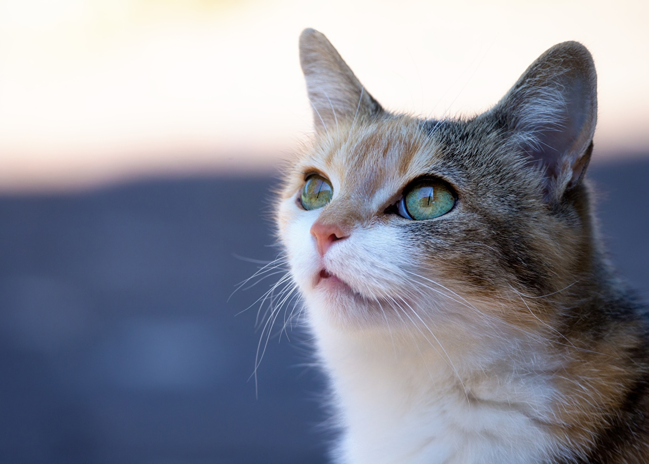 Фотография кот Морда головы смотрит Животные коты кошка Кошки морды Взгляд Голова смотрят животное