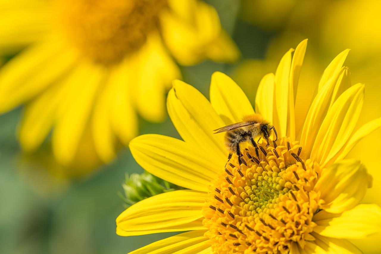 Картинки Пчелы насекомое Размытый фон Животные Крупным планом Насекомые боке вблизи животное