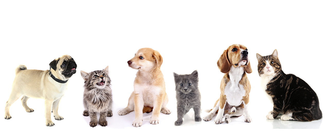 Обои Мопс Бигль Котята Ретривер Кошки Собаки Животные Белый фон Коты