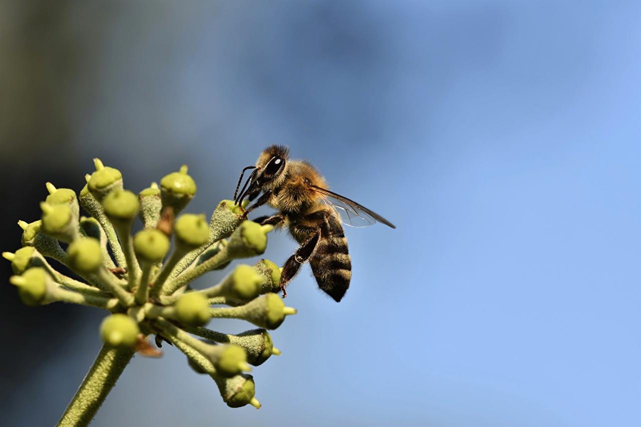 Фотографии Пчелы Насекомые боке Животные Крупным планом насекомое Размытый фон вблизи животное