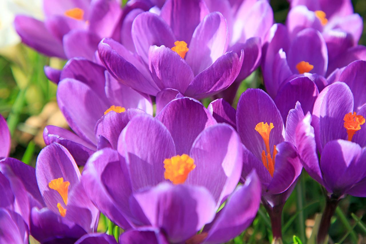 Картинка Фиолетовый Цветы Крокусы вблизи Шафран Крупным планом