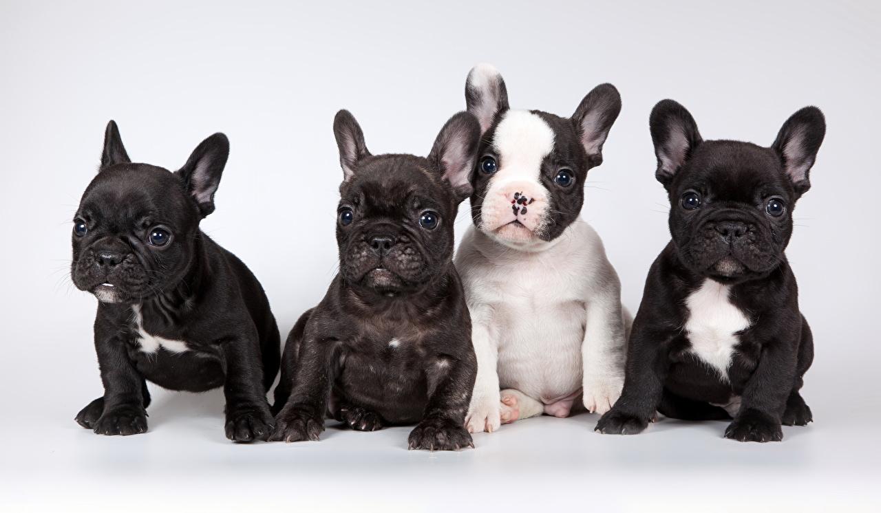 Картинки щенков Французский бульдог собака Четыре 4 Сидит смотрит животное Серый фон щенки Щенок щенка Собаки сидя сидящие Взгляд смотрят Животные сером фоне
