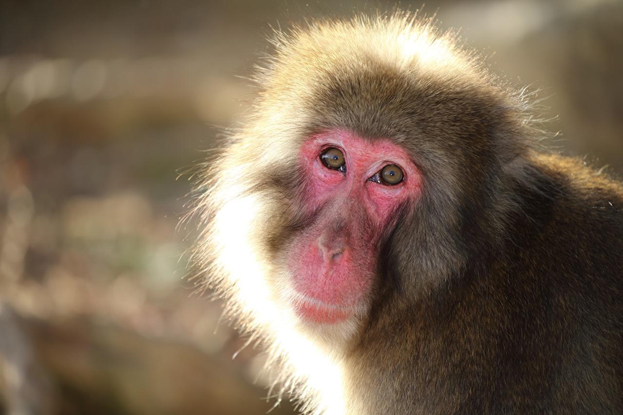 Картинка Обезьяны Snow monkey смотрит животное обезьяна Взгляд смотрят Животные