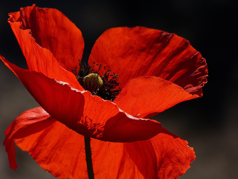 Картинки красных мак цветок вблизи Красный красные красная Маки Цветы Крупным планом