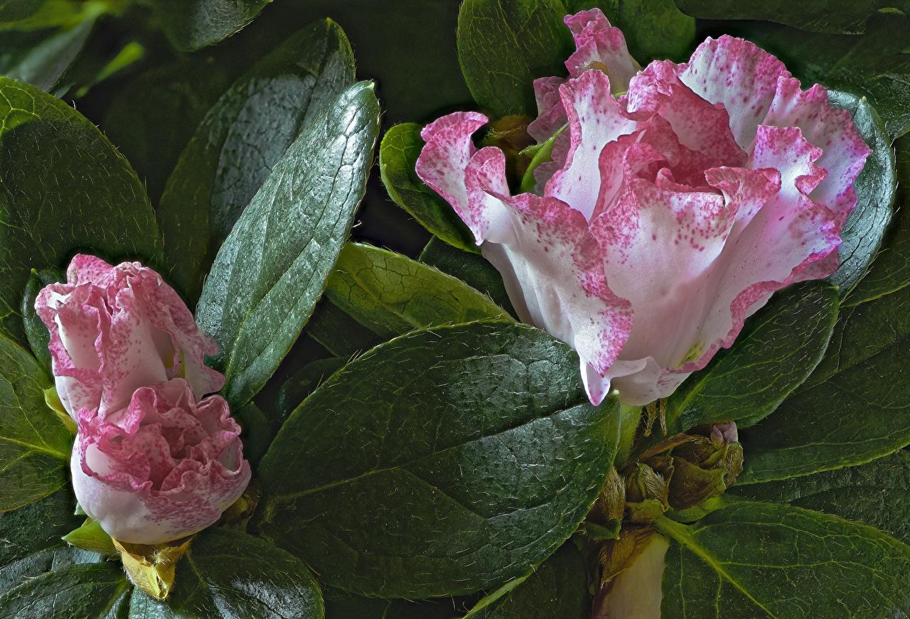 Картинка Листья Цветы Рододендрон Крупным планом лист Листва цветок вблизи