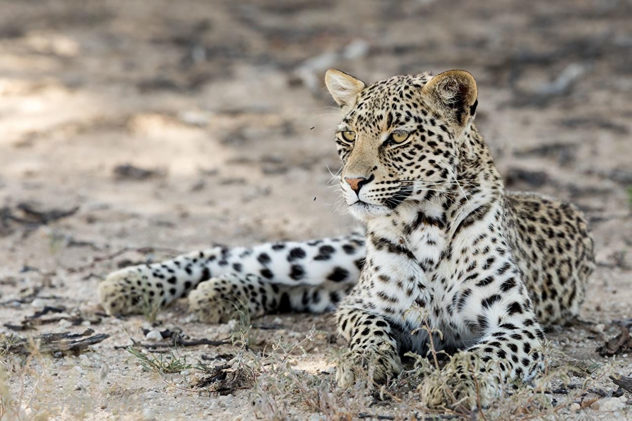 Фотография леопард лежачие kgalagadi leopard лап Усы Вибриссы смотрит Животные Леопарды лежа лежат Лежит Лапы Взгляд смотрят животное