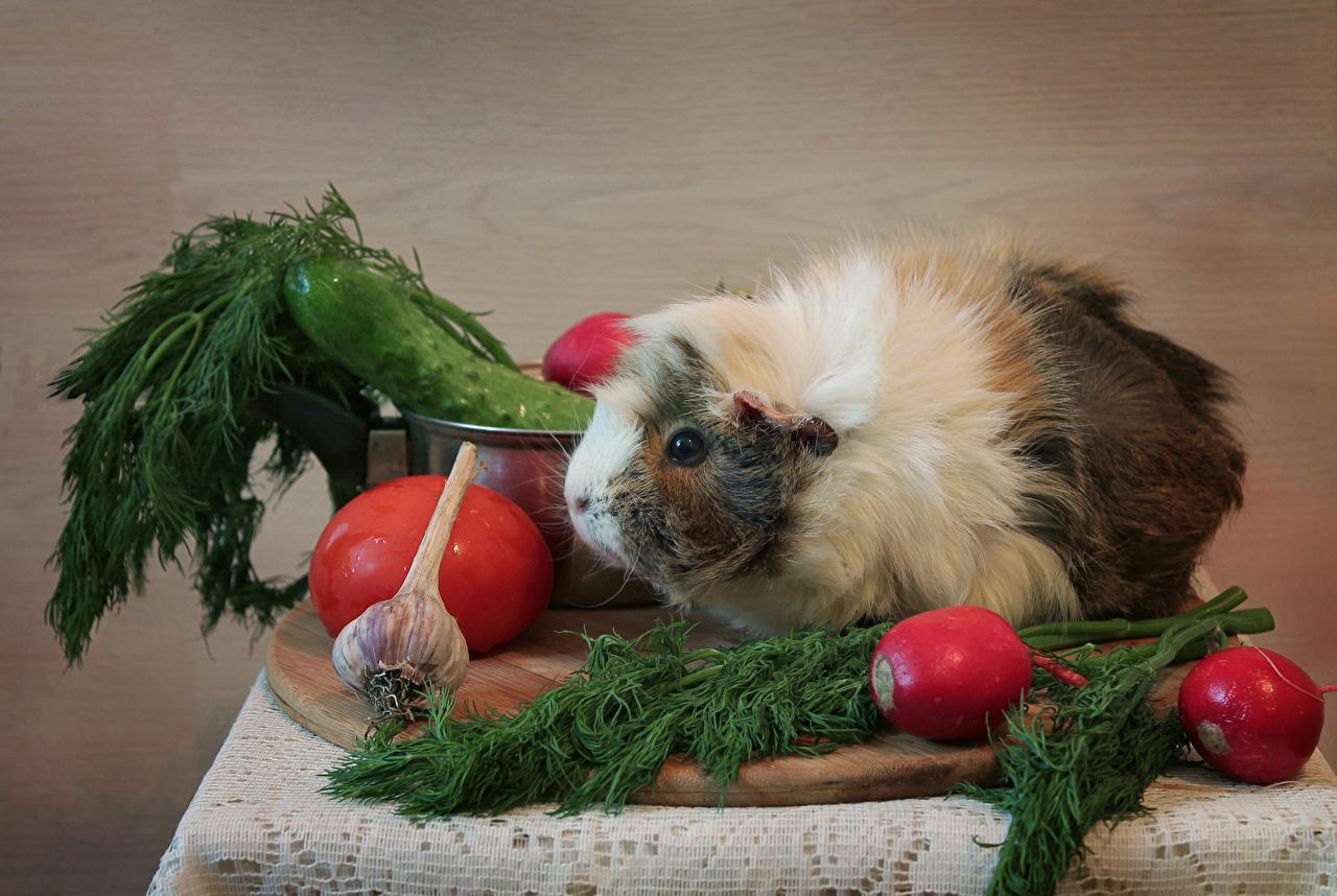 Картинка Морские свинки Редис Укроп Чеснок Овощи Продукты питания животное Еда Пища Животные