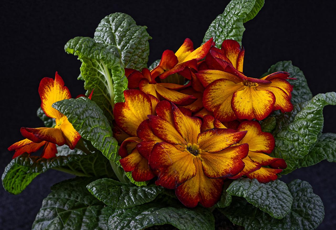 Фотография лист Цветы Примула вблизи Черный фон Листья Листва цветок Первоцвет на черном фоне Крупным планом