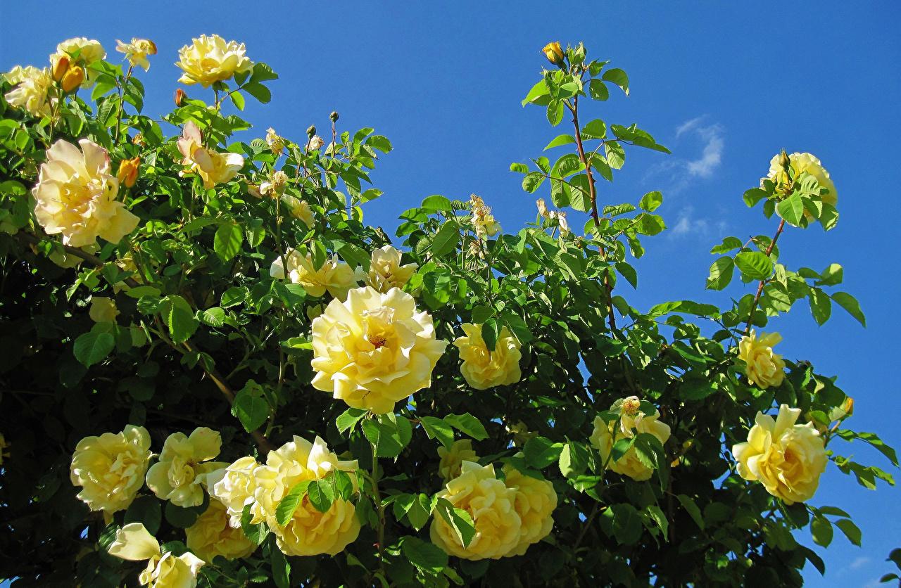 Картинка Розы Желтый цветок ветка Крупным планом роза желтая желтые желтых Цветы ветвь Ветки на ветке вблизи