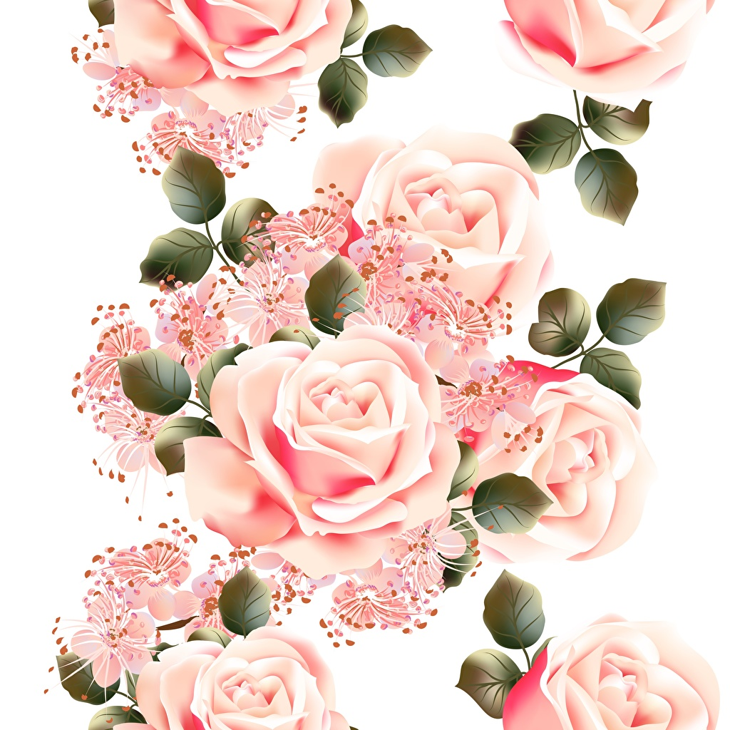 Фото Розы розовая Цветы Белый фон роза розовых Розовый розовые цветок белом фоне белым фоном