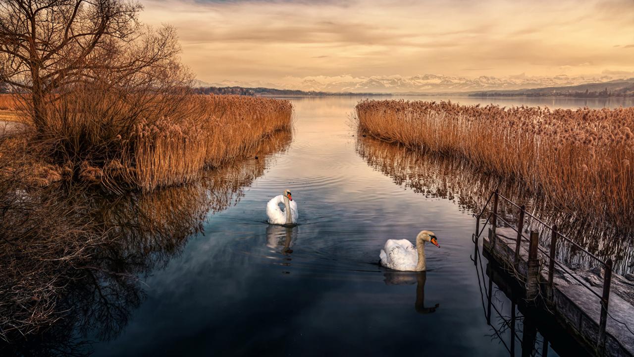 Обои Лебеди Осень Природа речка Причалы кустов осенние Реки Пирсы Пристань Кусты