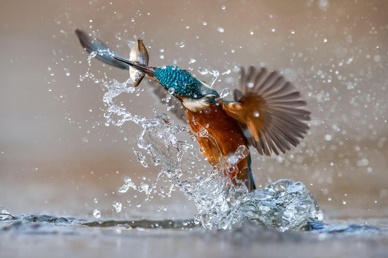 Фото Обыкновенный зимородок Рыбы птица Брызги Животные Птицы с брызгами животное