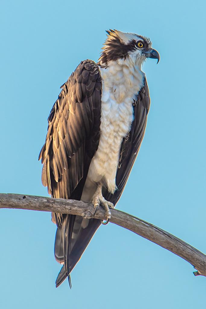 Фотографии Птицы Osprey на ветке животное Цветной фон  для мобильного телефона птица ветвь ветка Ветки Животные