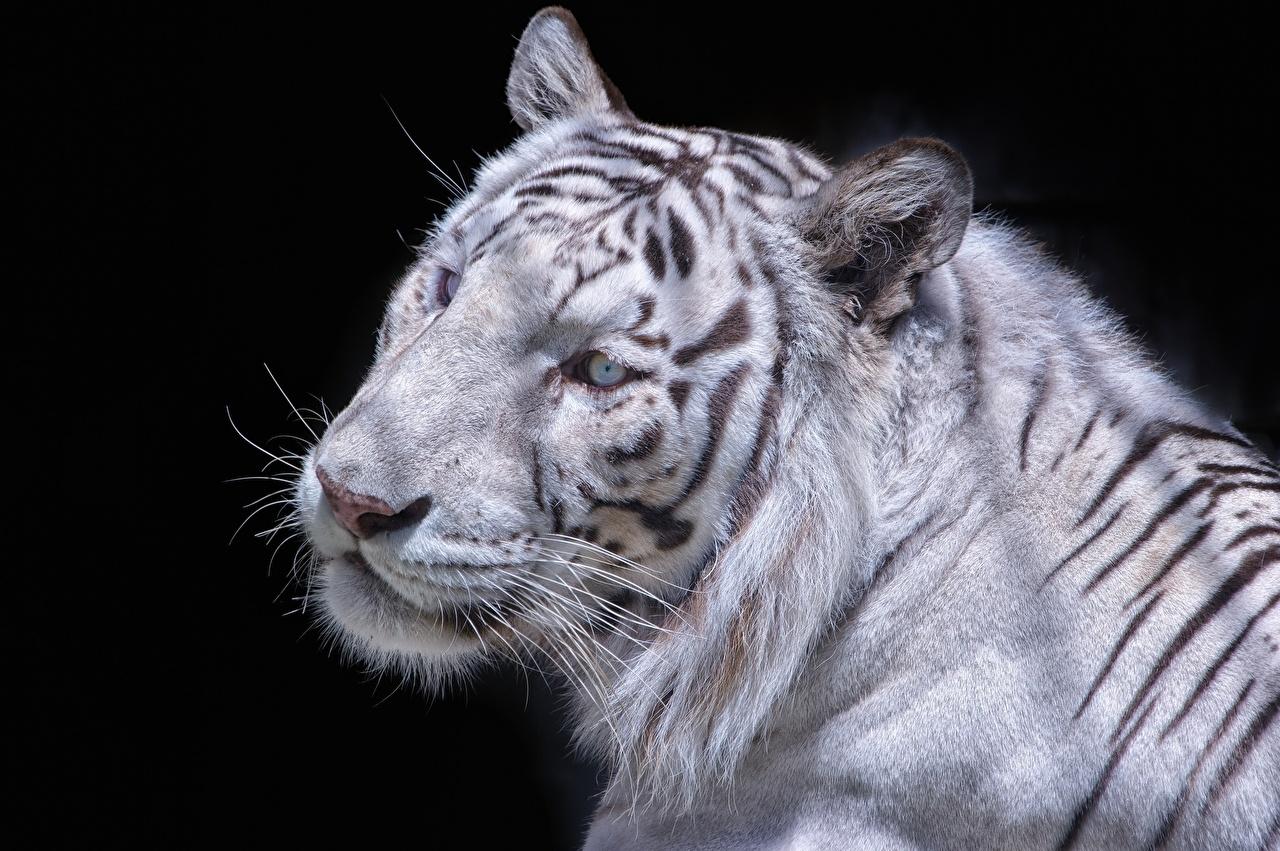 Картинка тигр Большие кошки белая Взгляд Животные Тигры Белый белые белых смотрит смотрят животное
