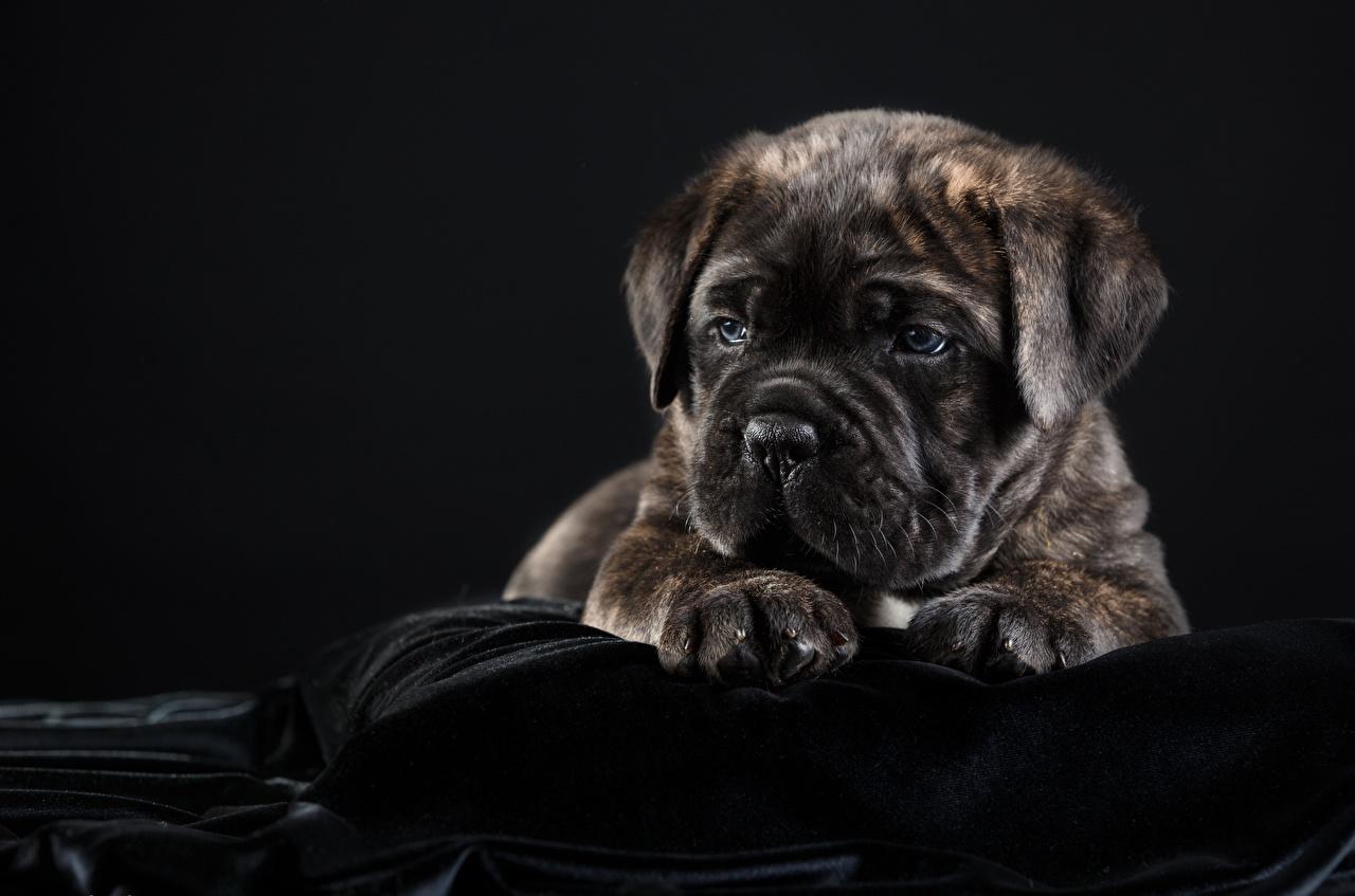 Фотографии Щенок Кане корсо Собаки Животные Черный фон