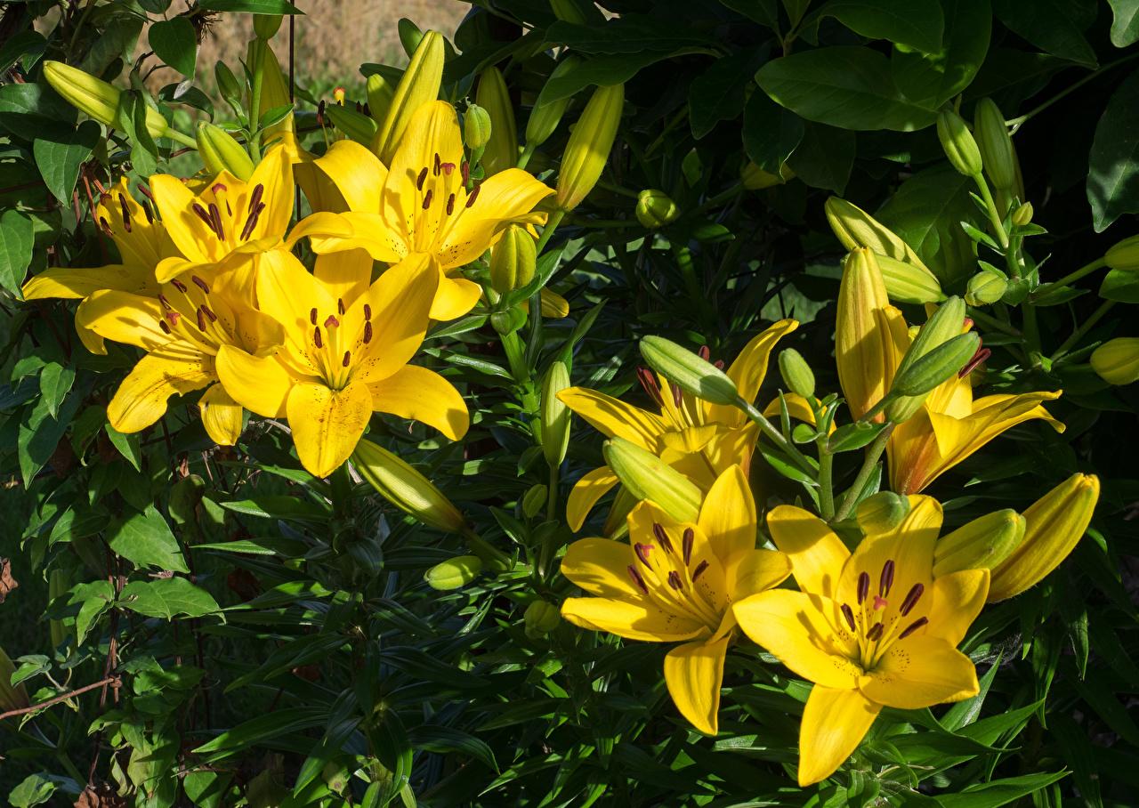 Фото лилия желтые Цветы Бутон вблизи Лилии желтых желтая Желтый цветок Крупным планом