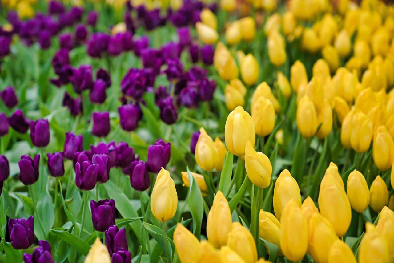 Фото боке желтая Тюльпаны фиолетовая Цветы Много Размытый фон желтые желтых Желтый тюльпан фиолетовых Фиолетовый фиолетовые цветок