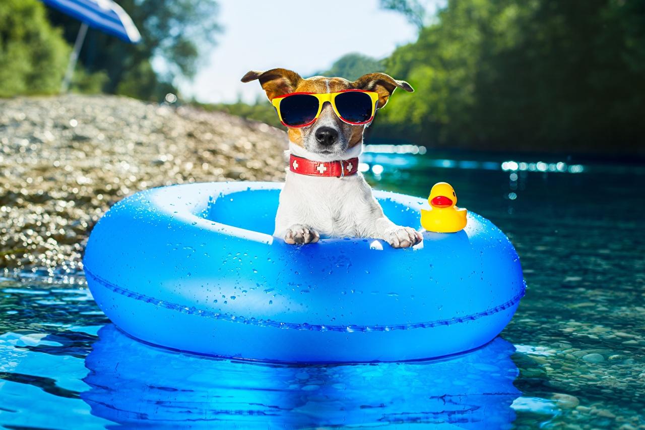 Фотографии Джек-рассел-терьер Собаки Лето Еда Очки собака Пища очков очках Продукты питания