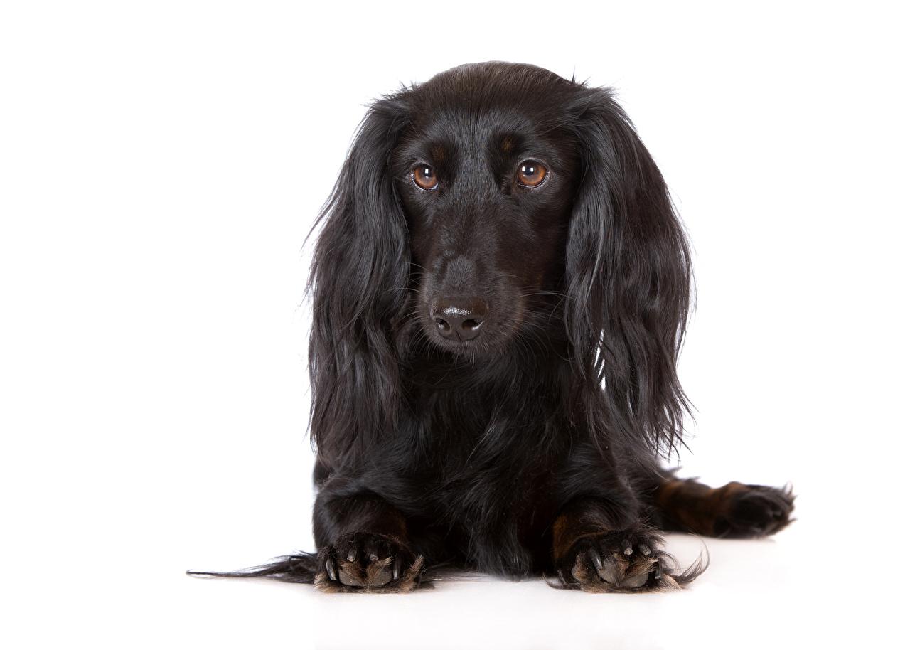Фотография таксы собака черные Взгляд животное белым фоном Такса Собаки черных Черный черная смотрят смотрит Животные Белый фон белом фоне