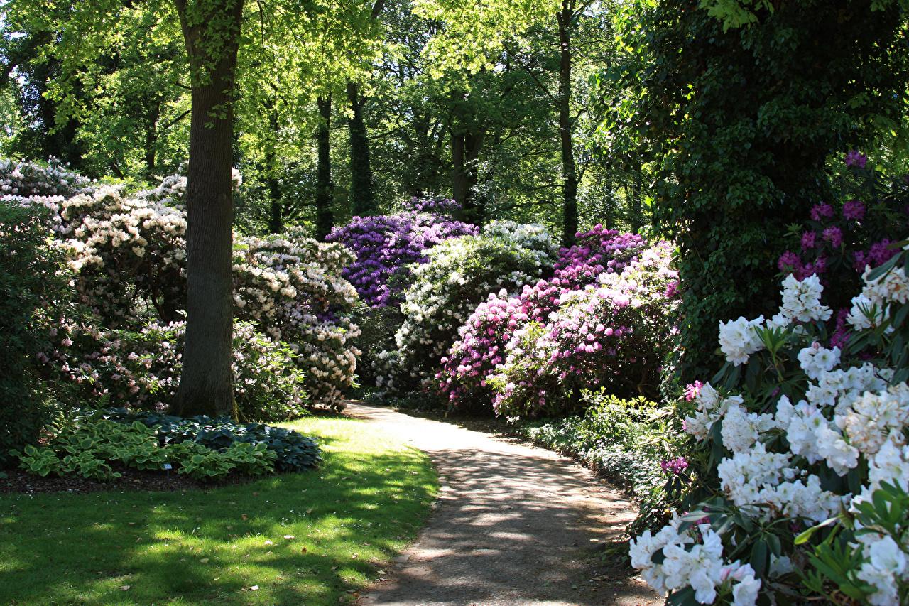 Фотография Германия Rhododendronpark Bremen Природа парк Рододендрон Кусты Парки кустов
