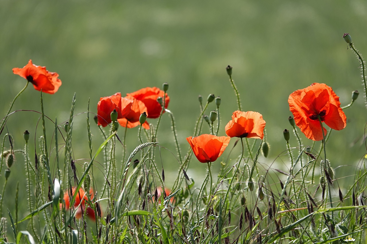 Картинка красных Маки Цветы траве Бутон красная красные Красный мак цветок Трава