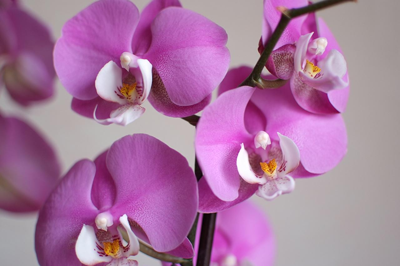 Фотография Орхидеи фиолетовых цветок Крупным планом орхидея Фиолетовый фиолетовая фиолетовые Цветы вблизи