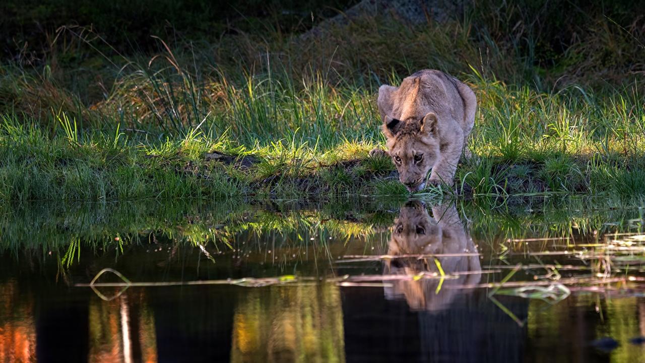 Обои для рабочего стола Львы Детеныши Пьет воду Озеро отражении животное лев Отражение отражается Животные
