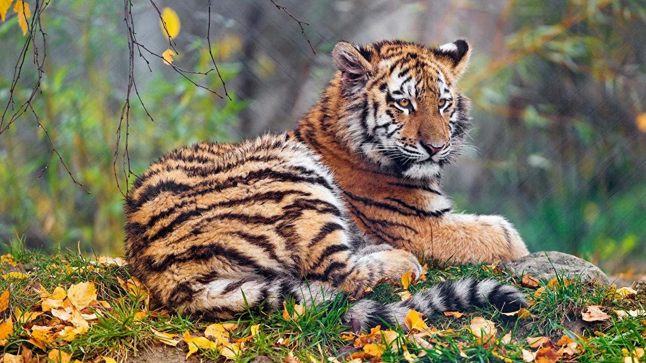 Картинки Тигры Осень животное тигр осенние Животные