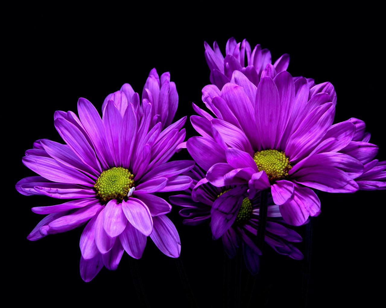 Картинка фиолетовая Цветы Хризантемы Черный фон Крупным планом Фиолетовый фиолетовые фиолетовых цветок вблизи на черном фоне