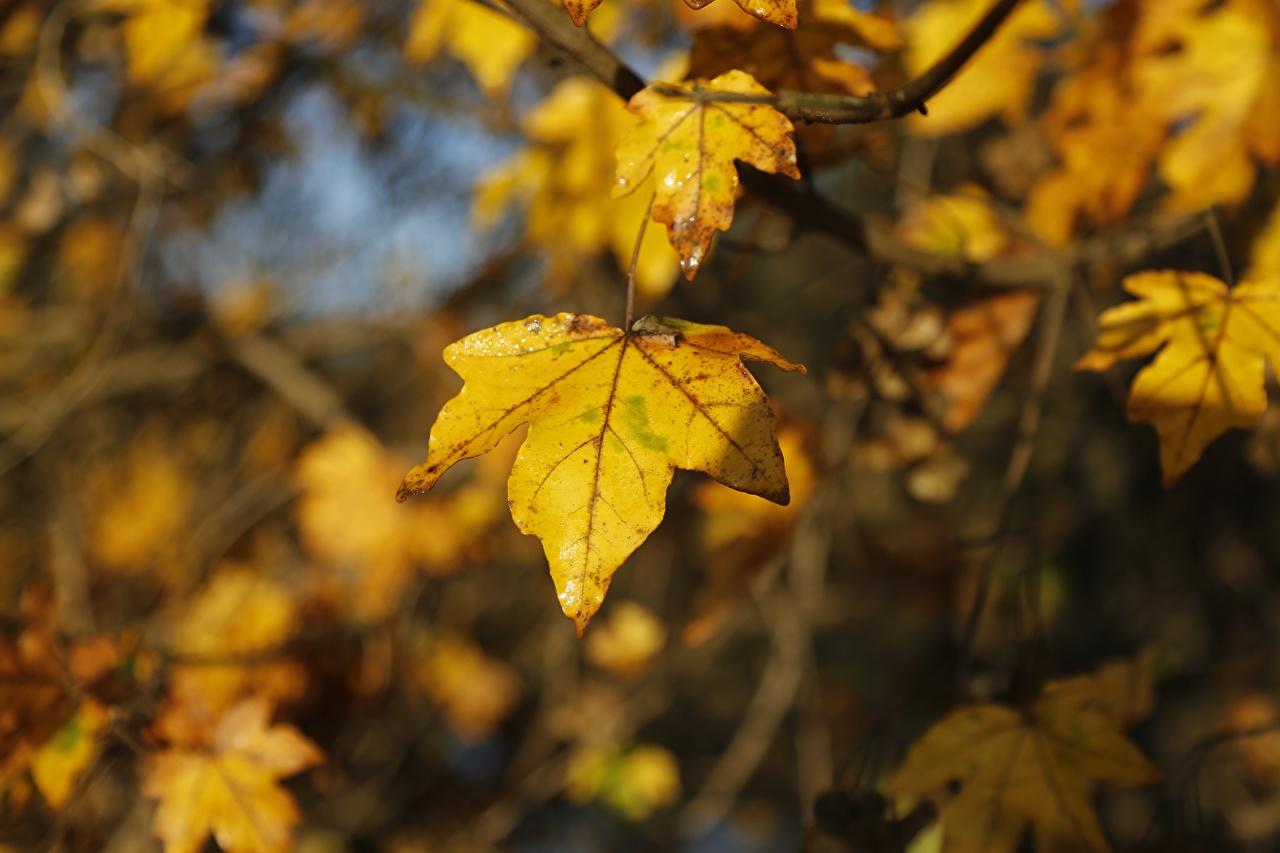 Фотографии лист боке клёна осенние Природа Крупным планом Листва Листья Размытый фон Клён клёновый Осень вблизи
