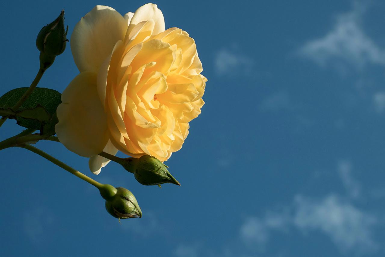 Фотографии Розы желтая цветок Бутон вблизи роза желтых Желтый желтые Цветы Крупным планом
