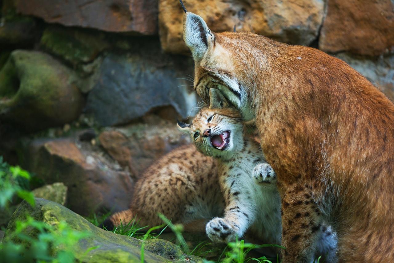 Фото Рыси Детеныши Двое Животные 2 вдвоем
