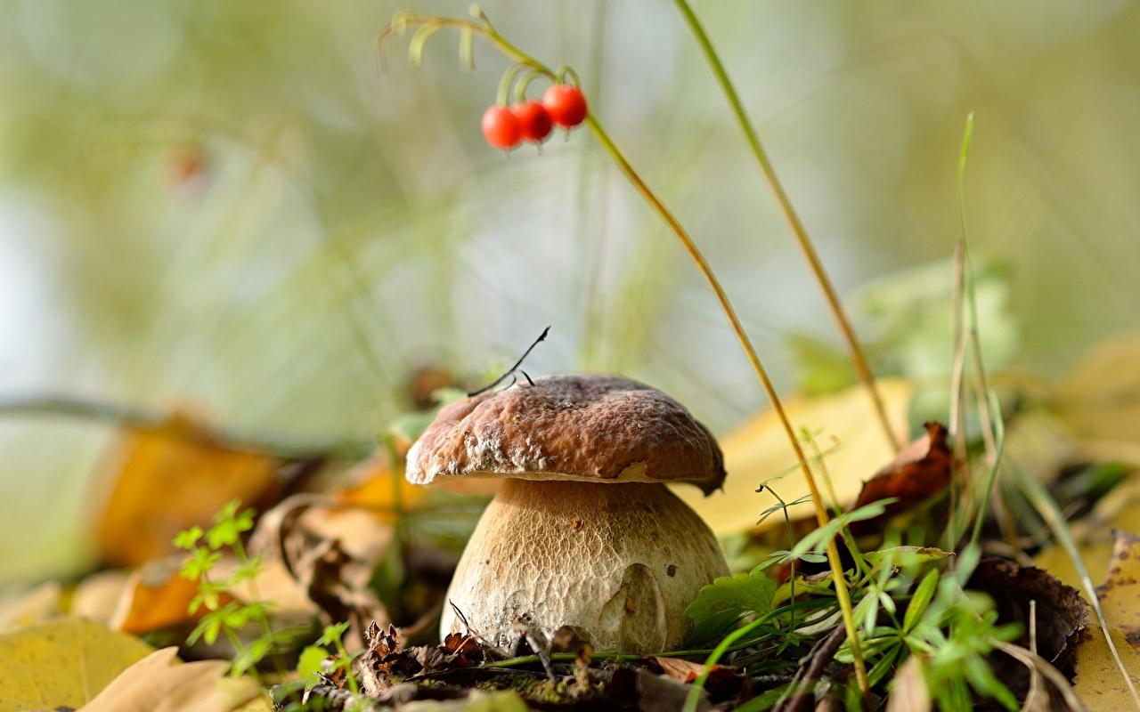 Фото Размытый фон боровик Природа Крупным планом боке Белый гриб вблизи