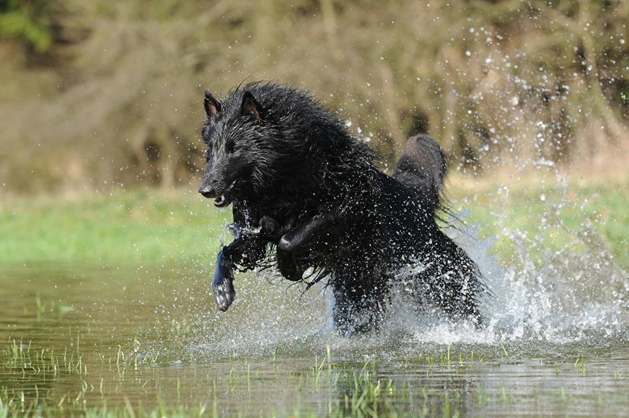 Обои Овчарка Собаки Belgian shepherd Черный Прыжок Брызги Животные