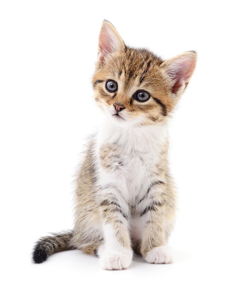 Обои для рабочего стола котенка коты Сидит смотрит животное Белый фон  для мобильного телефона котят Котята котенок кот кошка Кошки сидя сидящие Взгляд смотрят Животные белом фоне белым фоном
