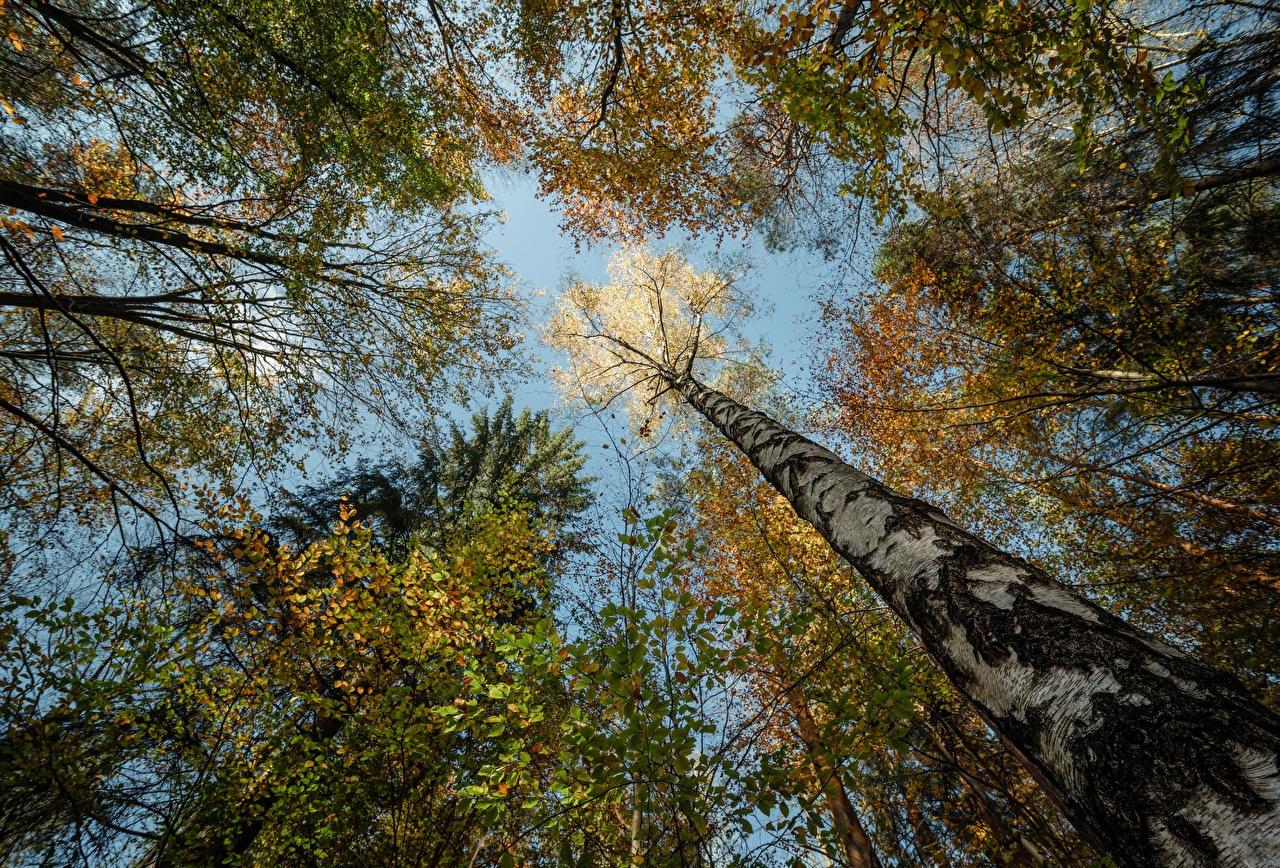 Фотография Германия Вид снизу Niederrathen береза осенние Природа Леса Ствол дерева Осень Березы лес