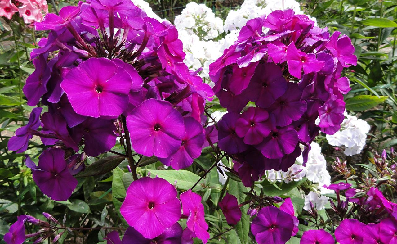 Фото Фиолетовый Флоксы цветок вблизи фиолетовая фиолетовые фиолетовых Цветы Крупным планом