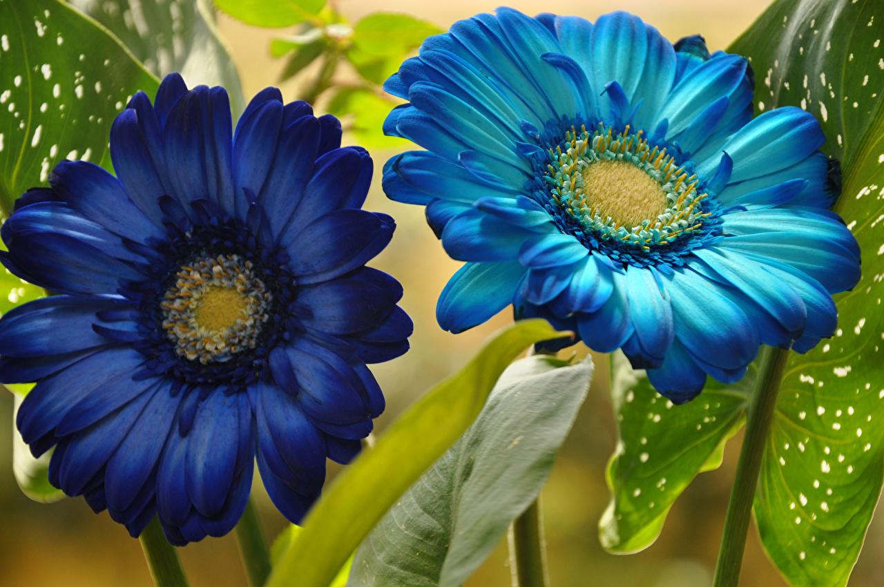 Фотографии два Синий гербера Голубой Цветы Крупным планом 2 две Двое синяя синие синих вдвоем Герберы голубая голубые голубых цветок вблизи